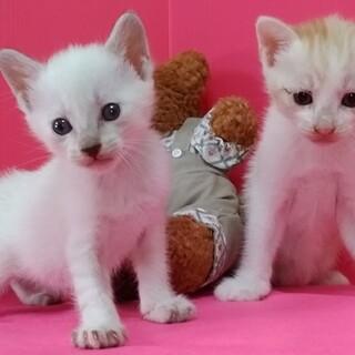 1ヶ月♡430㌘の玩具みたいなシャム系白と茶白兄妹
