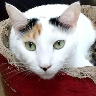 人に興味津々♥白三毛・美猫のまゆみちゃん