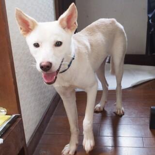 【里親様募集中】美人子犬クリームさん★周南緑地犬★