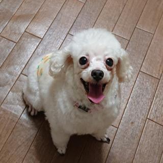 トイプードル(白)★まるちゃん