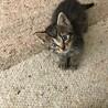 2ヶ月 子猫 素子ちゃん