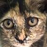 3か月 子猫 ニコ(仮名) 女の子 サムネイル3