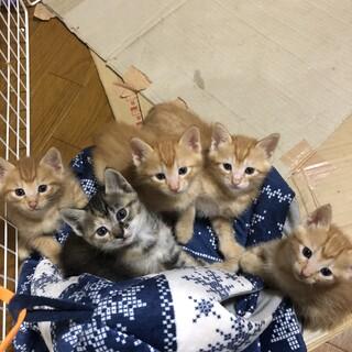 茶トラ子猫4匹の里親さん大募集