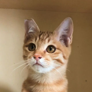 茶トラ子猫*元気なかわいい男の子