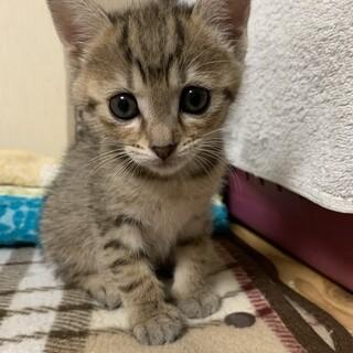 チャコールグレーのキジトラ(サビ?)の子猫♀