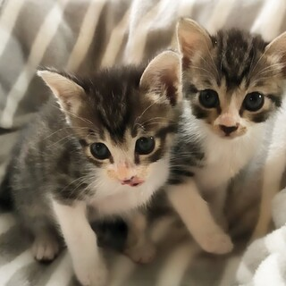クリッとお目めの2匹兄妹(生後1ヶ月半)