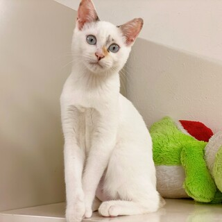 人が大好き♪ 甘えん坊すぎる子猫・白猫♪