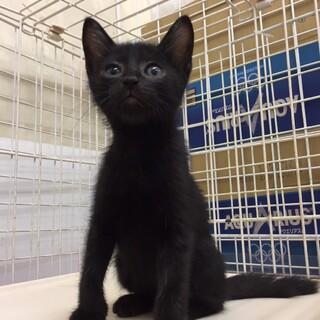 ✩猛暑日に遺棄された子猫〈黒猫そうくん♂〉2ヶ月