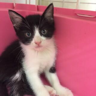 ✩猛暑日に遺棄された子猫〈黒白ドームくん♂〉2ヶ月