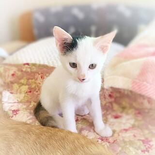 三毛猫 女の子 先住猫さんOK