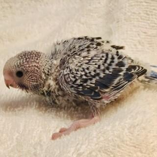 セキセイインコ 雛1羽