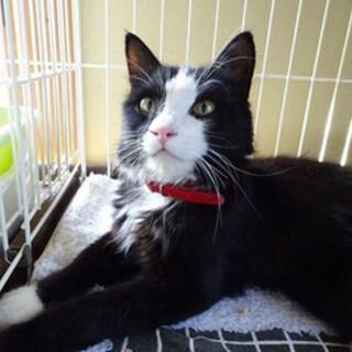 募集停止人慣れした長毛のタキシード猫
