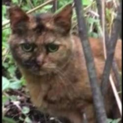 横浜 避妊済みサビ猫ちゃん