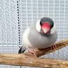 シルバー文鳥(2歳・オス・荒鳥)