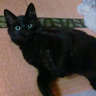 黒猫の男の子(4〜5ヶ月) 大人しくて人懐っこい子