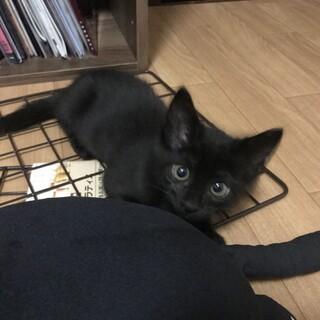 黒猫の子猫、人懐こく寂しがり屋です