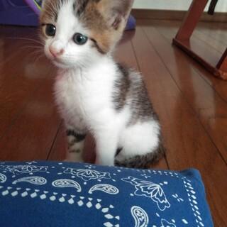 三毛猫、キトンブルー、生後約1ヶ月