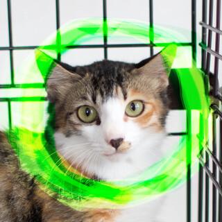緑の瞳の三毛猫長毛♀ゼフィア洋猫MIX