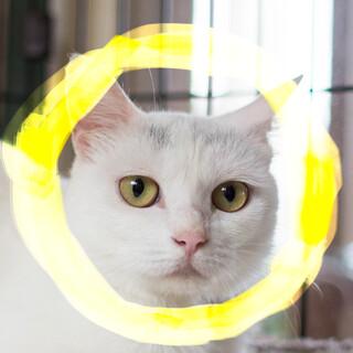 猫初心者向け♡白猫♀2歳エキゾチック