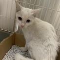 綺麗なオッドアイの白猫 あまびえ