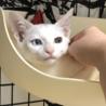 オッドアイの美男子子猫♡  生後2カ月半