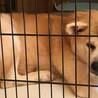 とっても穏やかなシニアの秋田犬、歌ちゃん サムネイル3