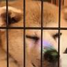 とっても穏やかなシニアの秋田犬、歌ちゃん サムネイル4
