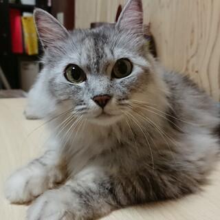 長毛で人懐こいナナちゃん1歳