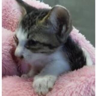 里親様を待っています。子猫♀150