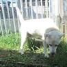 ラブ雑・温厚で人に寄り添う大人しい老犬 サムネイル5