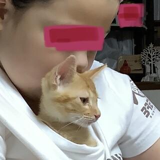 ゴロゴロマンボブテールの茶虎君 保護猫