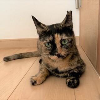 大人しくて人懐こい!優しいサビ猫☆マダラちゃん