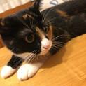 三毛猫のがらちゃん 令和元年5月頃生まれ