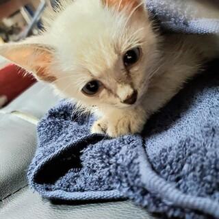子猫〖白〗 保護猫