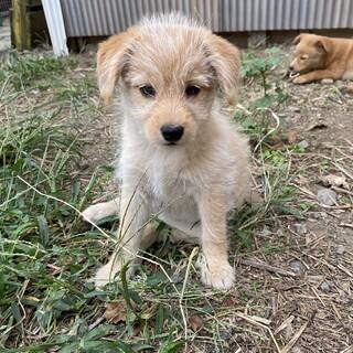小型ミックス犬 子犬2ヶ月 女の子