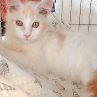 【ぱくもん】活発なふさふさ長毛白地茶トラ少女猫