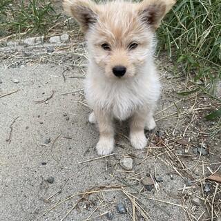 小型ミックス犬 子犬2ヶ月 男の子