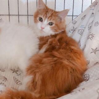 【ちゃも】ゴージャス長毛茶トラ白少女猫