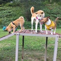 「柴犬はドッグランで」サムネイル3