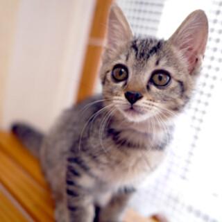 ■べっぴんキジ猫■2.5ヶ月■