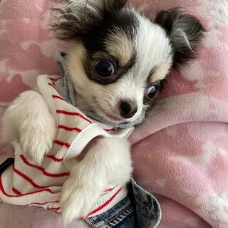 白黒チワワ ココちゃん6ヵ月の子犬ちゃんです。