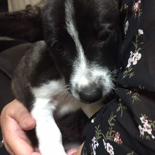 琉球犬×洋犬系MIX小柄チーコちゃん2カ月
