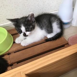 里親募集 ハチワレ風白グレー 子猫 一カ月半位