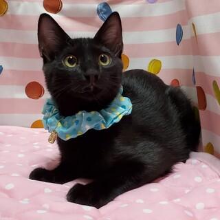 【9/20東日本橋】純真無垢な黒猫♡メイくん