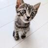 7月生まれの子猫 ジブリ6兄妹 ジジ♂
