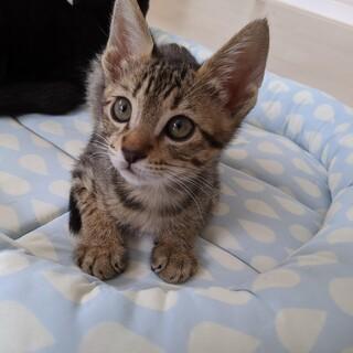 7月生まれの子猫 ジブリ6兄妹 ポニョ♂