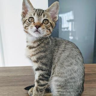 7月生まれの子猫 ジブリ6兄妹 ハク♀