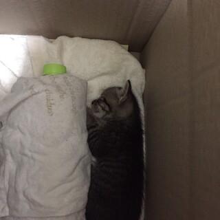保護した子猫の里親募集(怪我をしています)