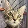 【9/19芝浦】キジトラ&黒猫の美猫兄妹ペアで
