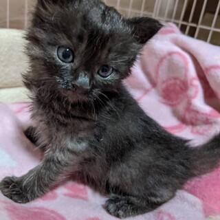 ちびちびな黒グレー子猫